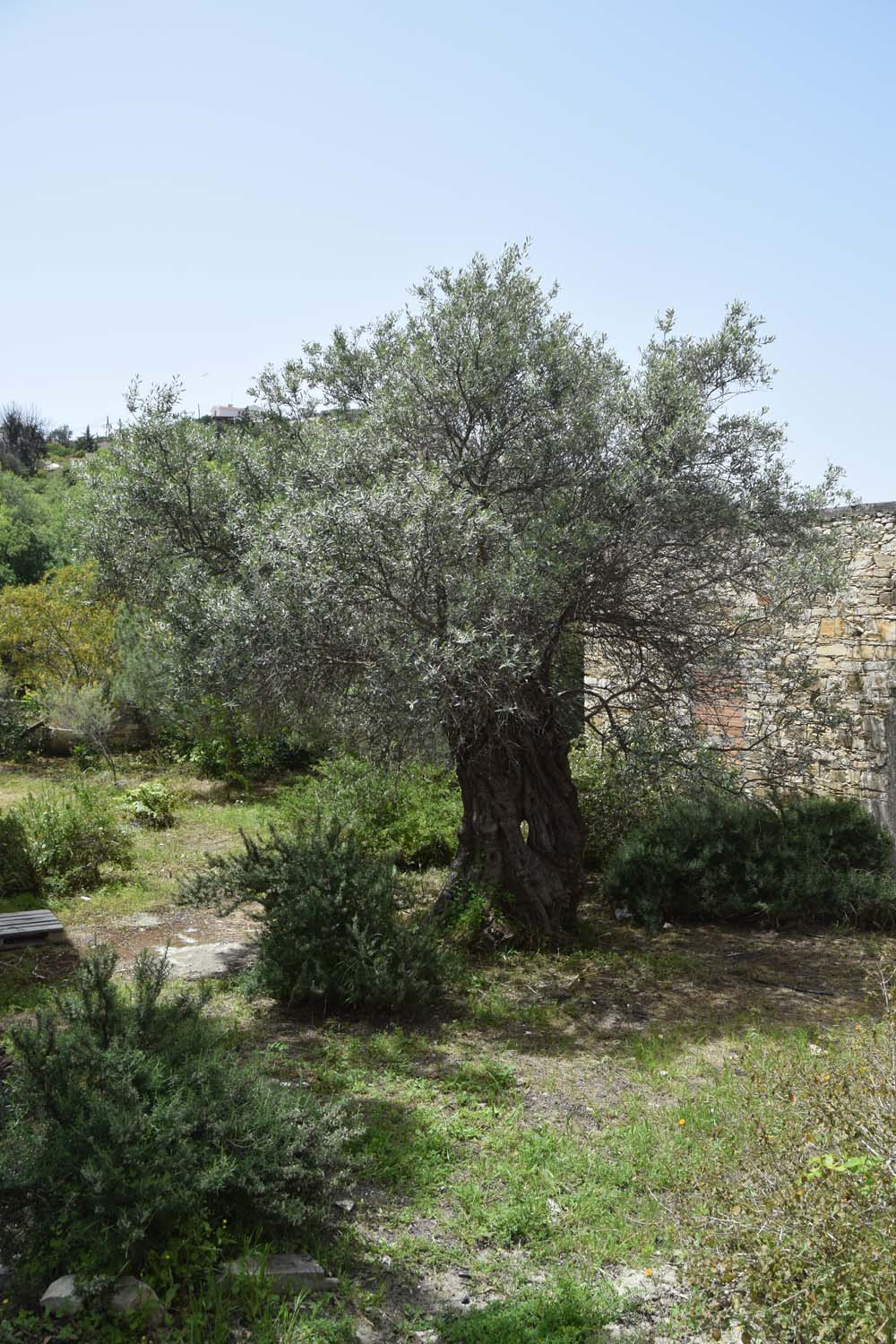 olive_cultivation_1